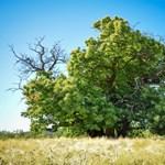 Egy szelídgesztenye versenyez idén magyar színekben az Év Fája versenyen
