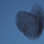 Seregélyekkel üzen a szerelemről a természet