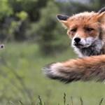 Áprilistól vakcinázzák a rókákat