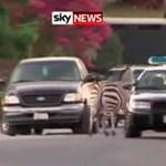 Videó: Zebrákat üldöztek a kaliforniai rendőrök