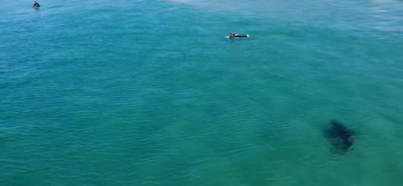 Hatalmas fehér cápa úszott a szörfösök felé, amikor egy drónpilóta kiszúrta a levegőből - videó