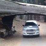Látta már a kidőlt gigantikus fát, amin egy autóút vezet át?