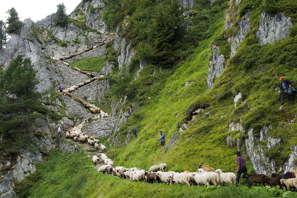 Hét képei nagyítás - Alpesi juhok vándrolona a Aletsch gleccseren Blatten mellett.