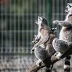 Makik és makákó, muflon és nílusi ludak isszülettek a Kecskeméti Vadaskertben