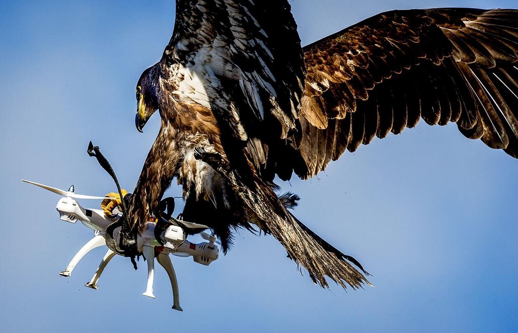 AFP - Nagyítás - Állati 2016 - 16.12.31. - Sasokkal vadássza le a drónokat a holland rendőrség. A nagyragadozókat akkor vetik majd be, ha egy drón nem engedélyezett terület fölé, azaz egy repülőtérhez közel, vagy például egy magas rangú állami delegáció k