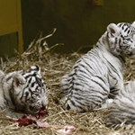 Íme néhány fotó a győri állatkert négy fehér kistigriséről