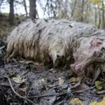 Fotó: három juhot marcangolt szét a medve Nógrádban