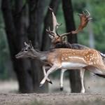 Hurokkal vadászott őzre két férfi, állatkínzásért kell felelniük