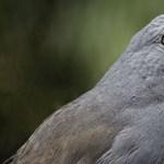 Visszahozták a kihalás széléről Új-Zéland titokzatos, legendás madarát