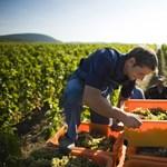 Darázsfészekbe nyúlt az újfideszes borász