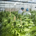Több év fegyházbüntetésre ítéltek két férfit marihuánatermesztésért