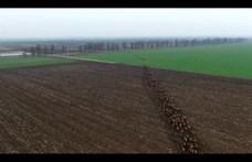 Elképesztő légifelvételen vágtat több száz szarvas Baranyában - videó