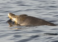 Tizenhat kiló műanyagszemetet találtak egy partra vetődött csőröscet gyomrában
