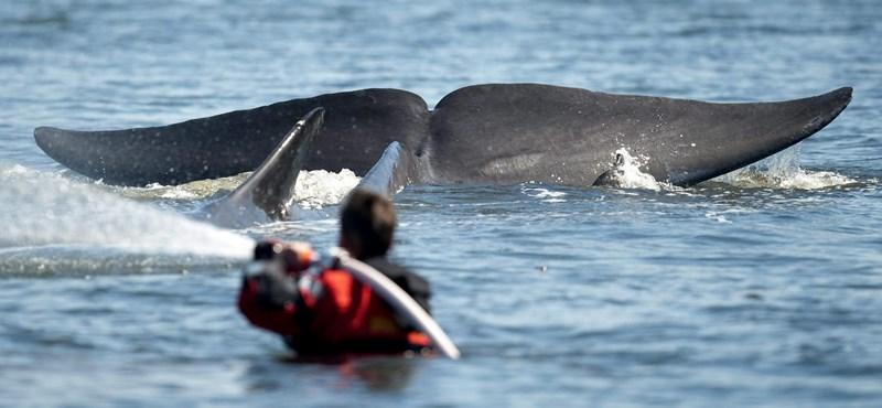 Elpusztul a Dániában partra sodródott bálna