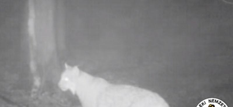 Hiúzt videóztak le az Aggteleki Nemzeti Parkban