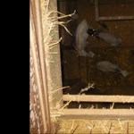 Több mint száz kecskét tartottak egy pincében Érden – videó
