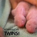 Pandaikrek születtek az USA-ban – fotó