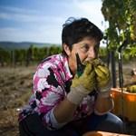 Jóslat Ópusztaszerről: bőven lesz borunk 2012-ben