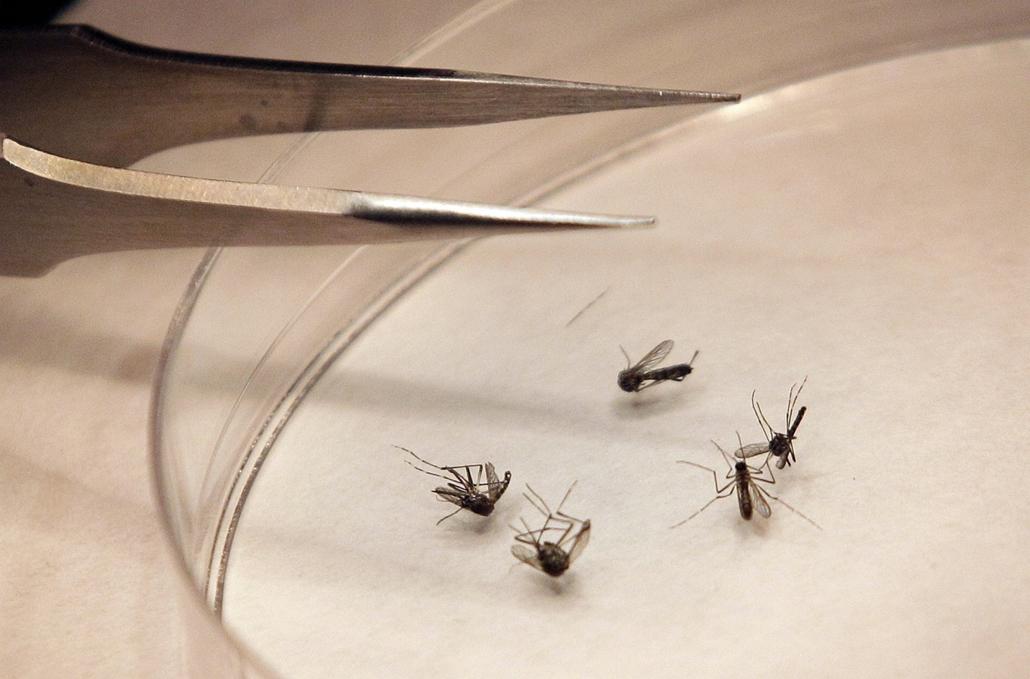 Moszkítók egy dallasi laborban. A kutatások szerint bár hordozhatják a Lyme-kór, a búbópestis, illetve egyéb betegségek vírusát is, mégis nagyon kicsi annak esélye, hogy embereket fertőzzenek meg. - Hét képei - nagyítás