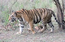 Tigris támadt egy idős nőre Floridában