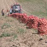 Többszáz kiló mérgezett krumpli kerülhet piacra