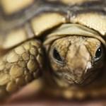 Veszély évszázadok múlva? A teknősöket már most fenyegeti a tengerszint-emelkedés