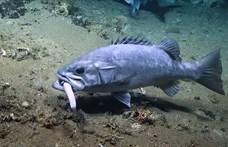 Megdöbbentek a kutatók: a szemük előtt ragadta el a cápát egy óriási hal – videó