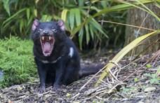 Szinte kiirtottak a megmentett tasmán ördögök két madárfajt