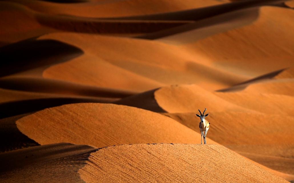 AFP - Nagyítás - Állati 2016 - 16.12.31. - Arábiai golyvás gazella Szaúd-Arábia és Omán határánál fekvő homokdűnéken