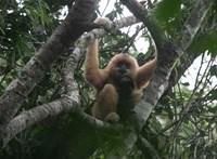 Új pár felfedezése jelent reményt a világ legritkább főemlősfajának fennmaradására