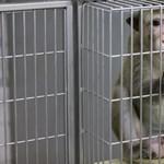 Emberi agyból ültettek át egy gént majmokba, így sokkal okosabbá váltak