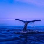 Összeomolhat a púpos bálnák gyorsan regenerálódó populációja