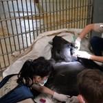 Életmentő műtétet hajtottak végre a nyíregyházi gorillán