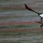 Elképesztő harcot vívott egy róka és egy sas a vacsoráért - videó