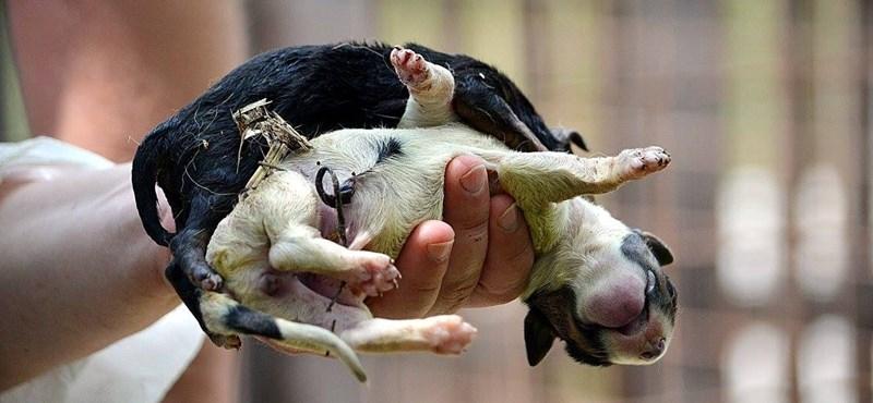 Egymást tépik a kutyák a legális, 1%-ot gyűjtő állatmenhelyen