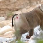 Talán sosem jutottak még eszébe a patkányevő majmok, pedig hasznosak
