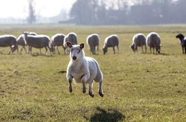 A méhek után jöhetnek a juhok és a marhák is legelni Budapestre