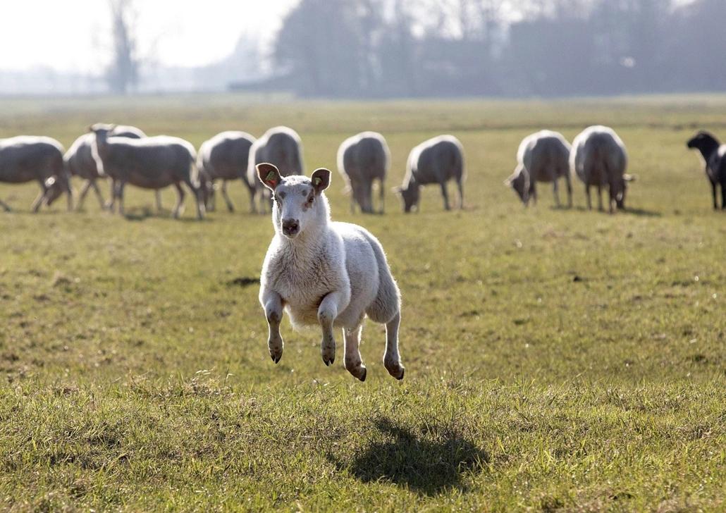 7képei 0308 - bárány, Berkel en Rodenrijs, 2013. március 5.Egy bárány szökdécsel a fűben a hollandiai Berkel en Rodenrijs egyik legelőjén 2013. március 5-én. A tavasziasra fordult időjárás miatt az állatokat a szokásosnál korábban engedték ki karámjukból.
