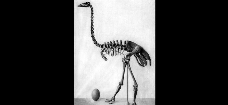 """Óriási elefántmadár-tojást """"találtak"""" egy múzeumban, pedig eddig is ott volt"""