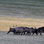 Videó: Libasorban kocognak a vadmalacok egy ritka felvételen