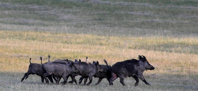 Két nap alatt kétszáz vaddisznóval végeztek külföldi vadászok