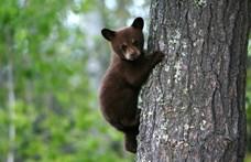 Ilyen a hangja az állatkínzásnak: szívszaggatóan sír az anyjától elszakított medvebocs
