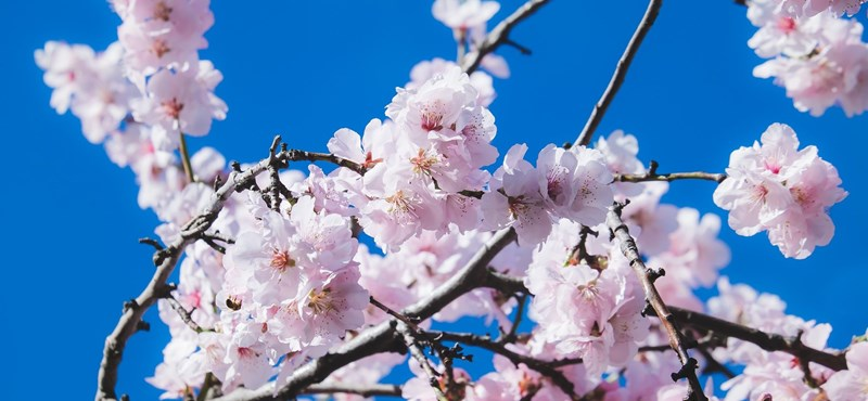 Cherry trees have not bloomed for a very long time in Japan, which is a bad sign, say researchers