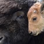 Önjelölt állatvédők miatt kellett meghalnia a Yellowstone bölényborjújának