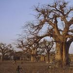 Több ezer éves fák pusztultak ki hirtelen a klímaváltozás miatt