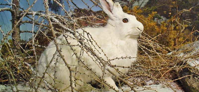 A havasi nyulakat is sújtja a klímaváltozás