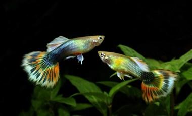 Lényegében zombikká válnak a halak a vízbe kerülő, emberi antidepresszánsoktól