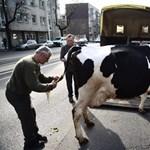 Púzó és böfögő tehenek miatt aggódik az ENSZ