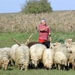 Egymilliárd forintos kárt szenvednek el a juhászok