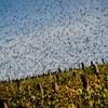 Hangágyúk helyett lézerrel riogatják a kártevő madarakat